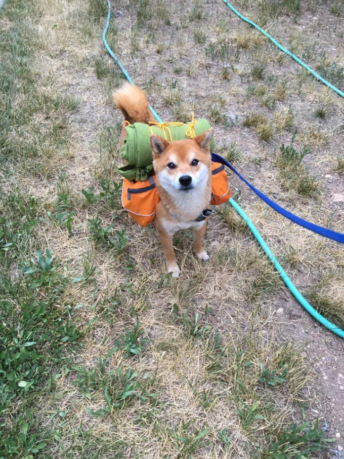 Adventure Shiba Inu reporting for duty ^_^