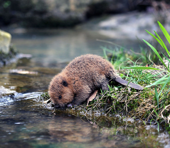 Baby beaver is thirsty ^_^
