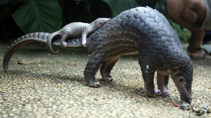 Pangolin baby riding on mama's tail ^_^