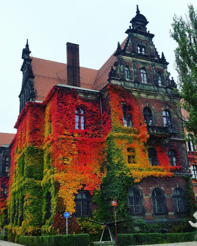 Incredibly couloured ivy on Museum of Natural History in Wroclaw, Poland