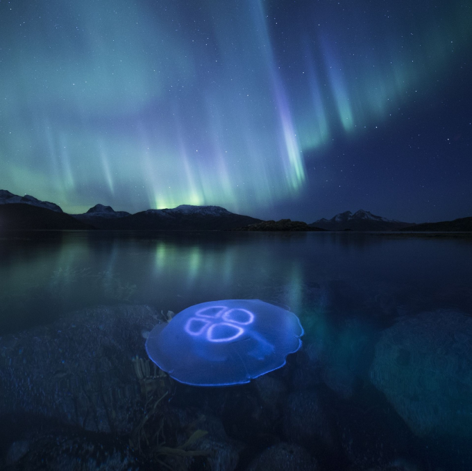 Jellyfish under the Aurora Borealis off the coast of Northern Norway ^_^