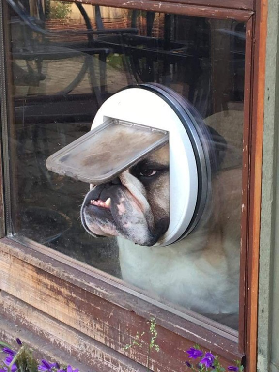 An English Bulldog looking through a cat door :P