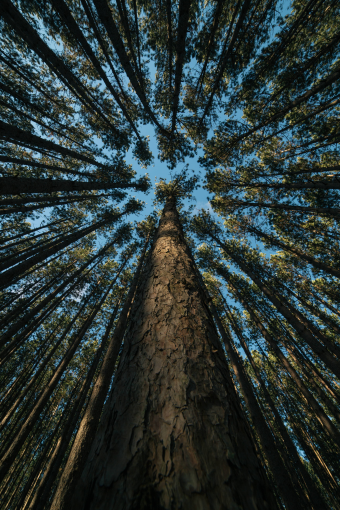 Looking up through the trees