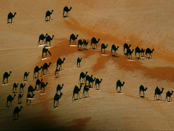 The camels are the white lines and the black the shadows ;)