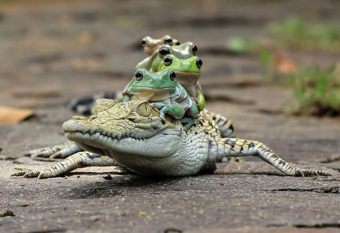 Frogs piggybacking on a caiman :P