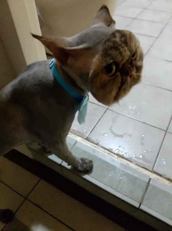 Wish you a nice weekend! So here's a cat fully shaved... except for his face :P