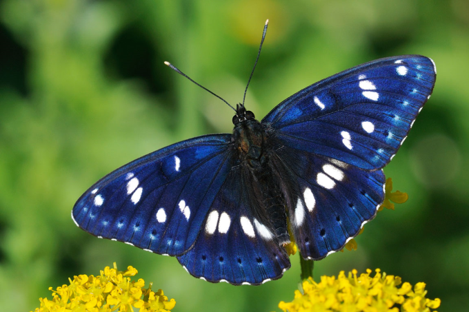 The beautiful Limenitis arthemis butterfly from North America