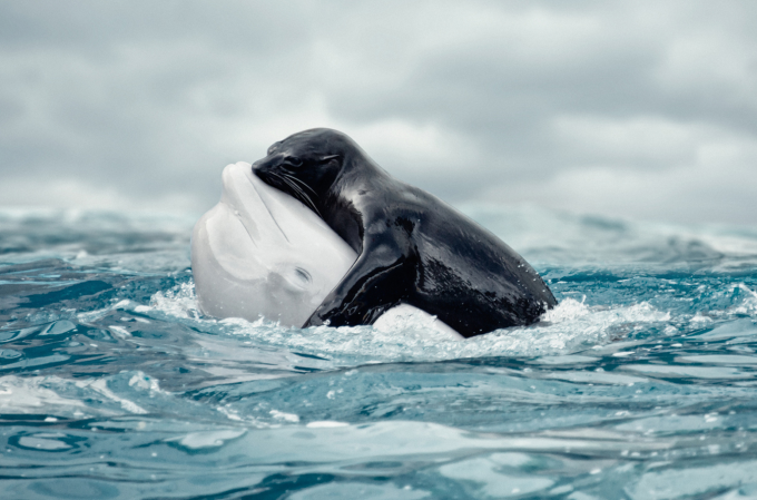 Rare embrace between a Seal and a Beluga Whale ^_^