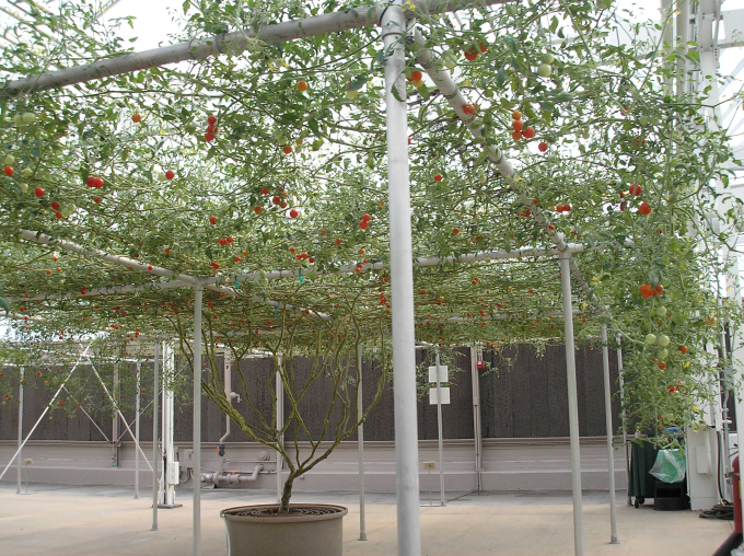 This is one single tomato plant :O