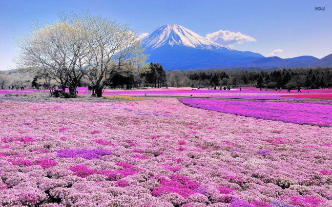 Flowers and Fuji
