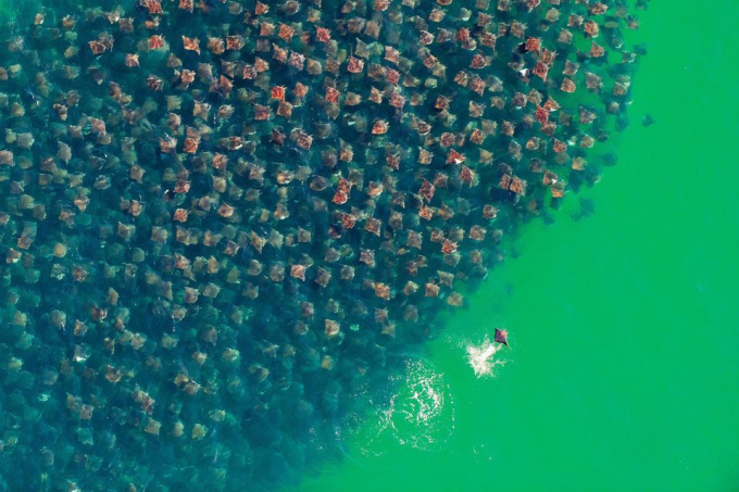 A fever of stingrays