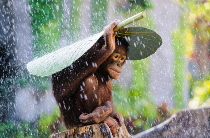 A young Orangutan using a giant banana leaf as an umbrella