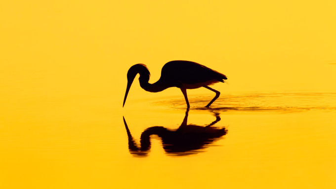 Silhouette of a Heron ^_^