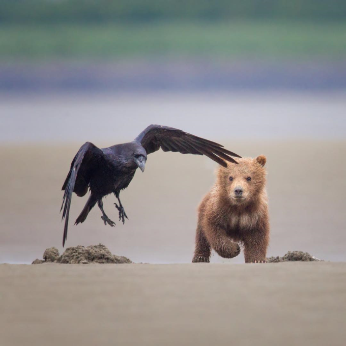 Brown bear cub and raven :)