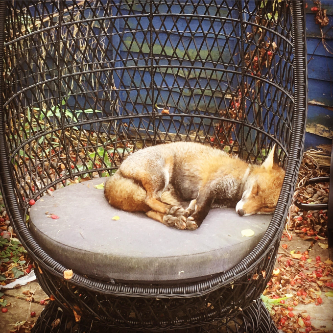 Fox napping in my garden ^_^