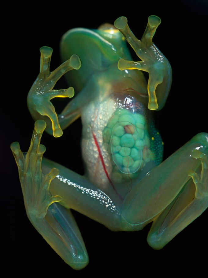 Frog with transparent skin :P