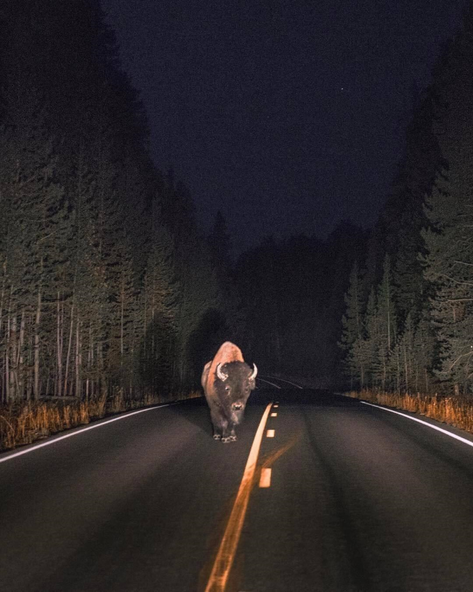 Night encounter, Yellowstone National Park