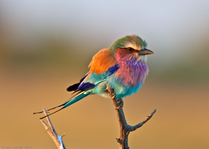 A lilac breasted roller