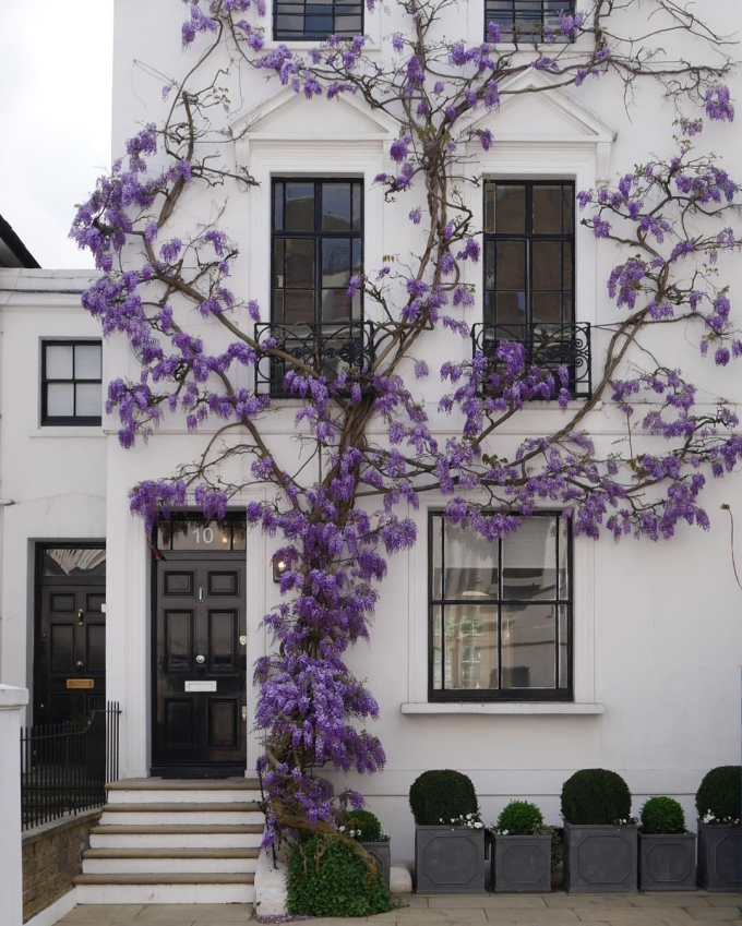 Wisteria on a White Wall