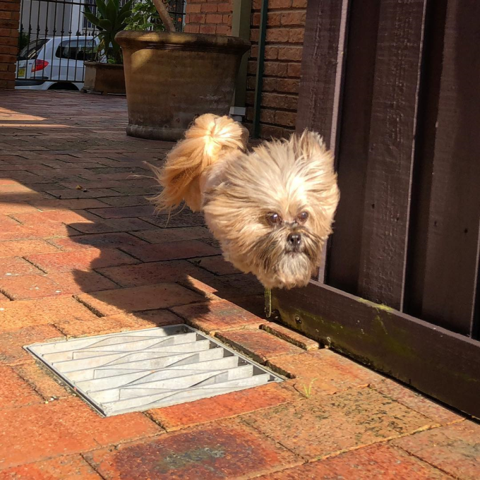 A dog leaps over grates, looks like a dog's head is just floating down the street 😂
