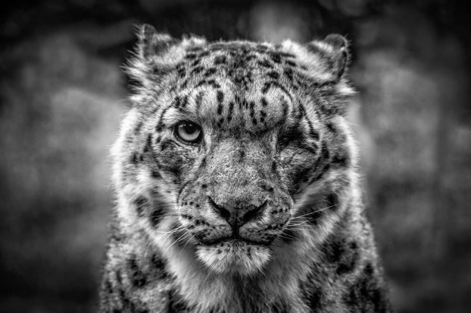 One eyed Snow Leopard :)